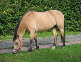 1024px-Buckskin_New_Forest_pony.jpg
