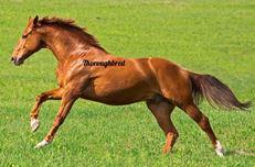 【馬の品種のおはなし】サラブレッド編